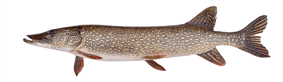 Ontario Northern Pike