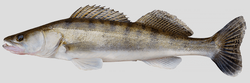 Ontario Walleye