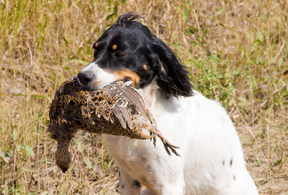 Hunting Dog With A Grouse Near Caribou Lake Ontario
