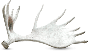 Moose Shed Antler From Caribou Lake